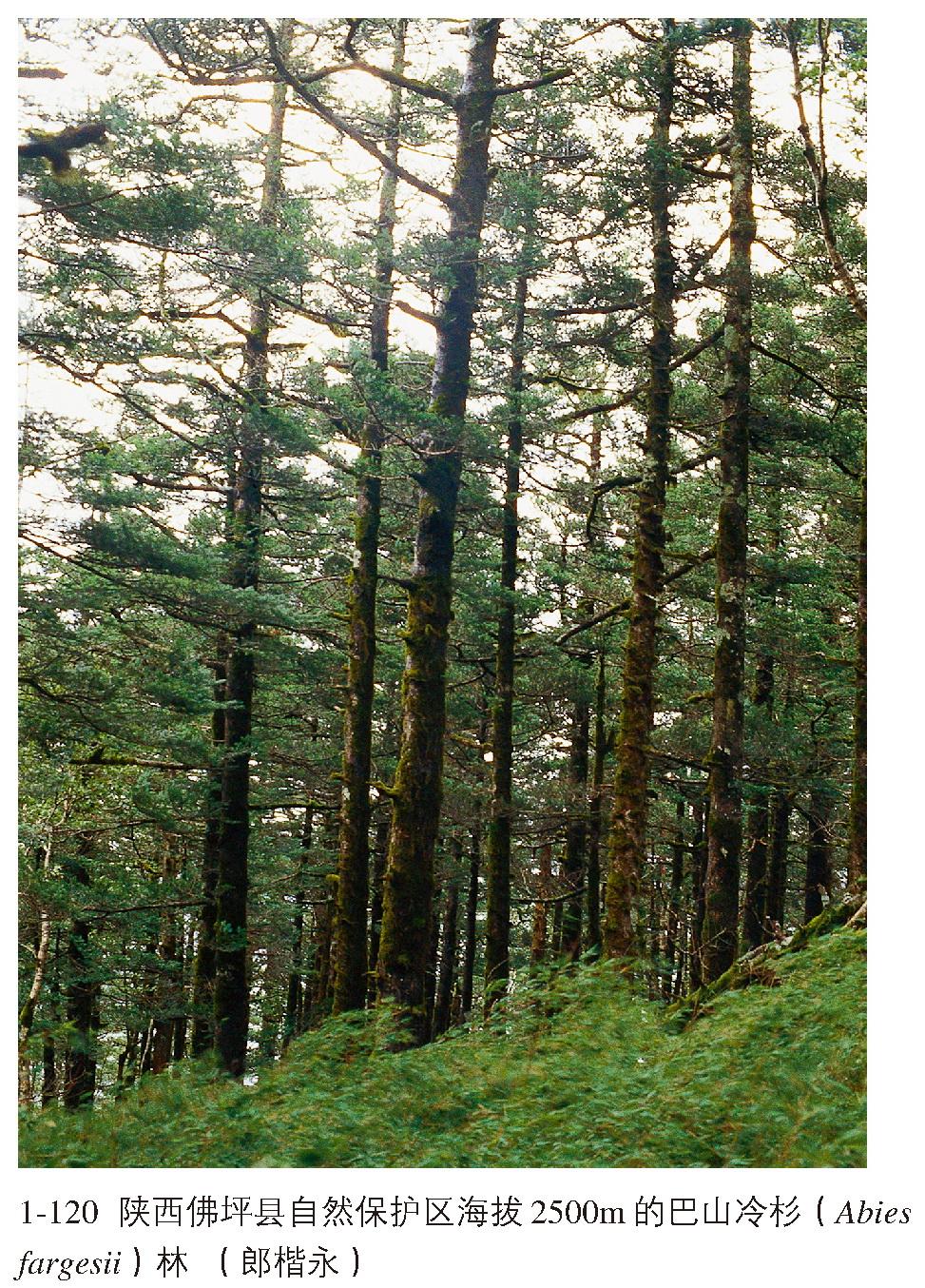 桦山松植物手绘图