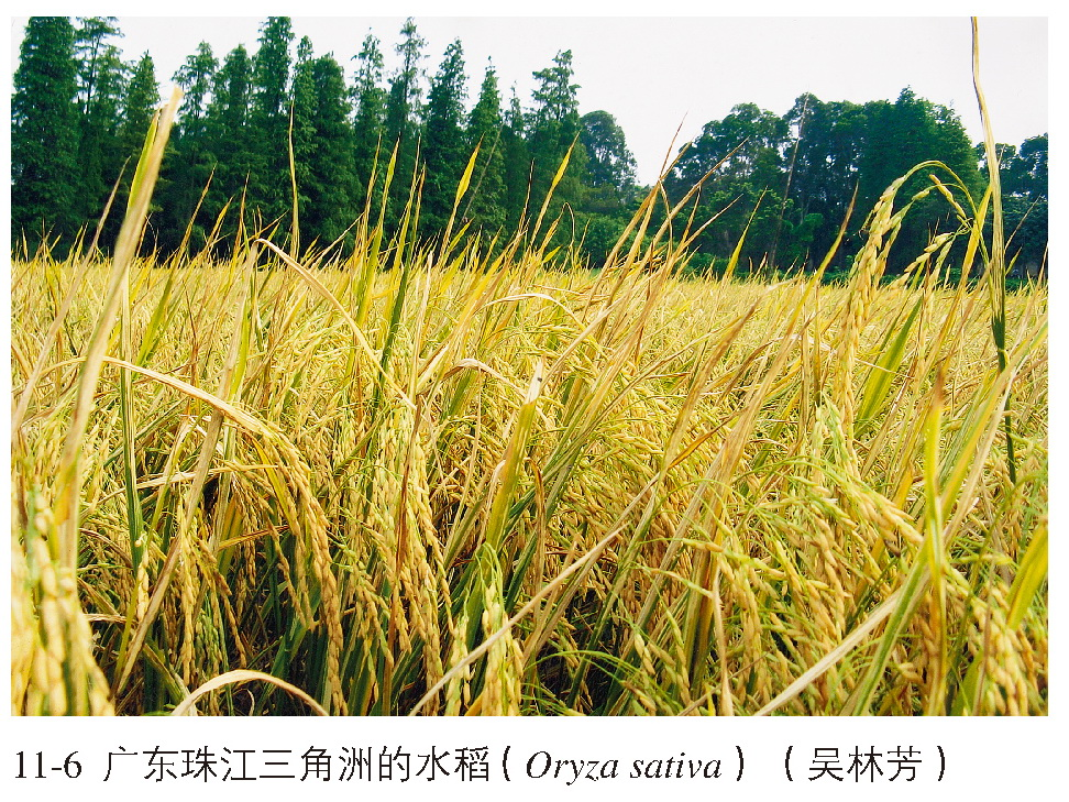 是种植籼稻系统的品种