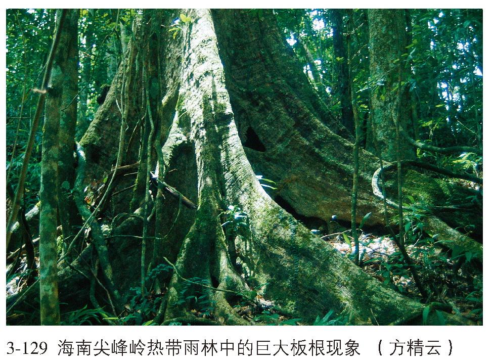 中国热带雨林的组成种类丰富,属热带植物区系成分,由