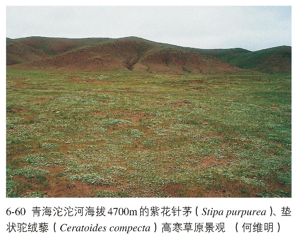 常见的伴生种有西藏早熟禾(