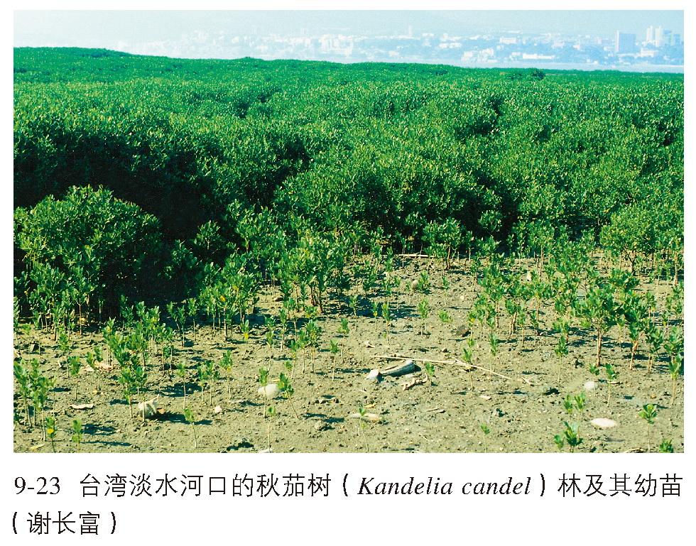秋茄群落一般高2~3m,在深圳湾香港米埔 红树林保护区高达5~6m,胸径5